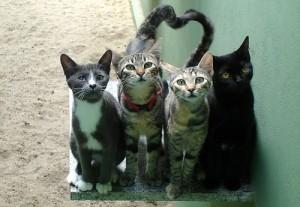 colonie-feline