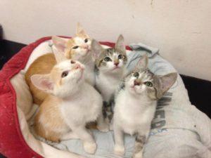 4-gattini