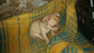 cucciola-pincher